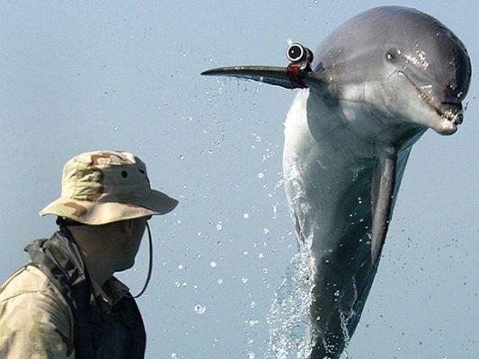 Delfines de la marina utilizados para salvar a la vaquita marina