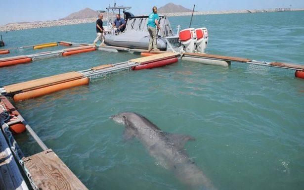 Conoce cómo funcionará el santuario de la vaquita marina en México