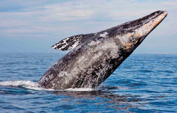 La ballena gris cumple su ritual, llega a BC