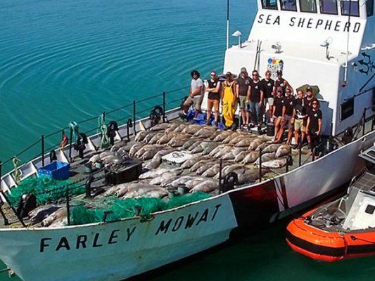 Confirma Sea Shepherd regreso a SF para salvar a la vaquita marina