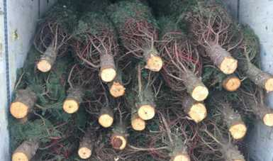 Evitan ingreso de casi 5 mil árboles navideños