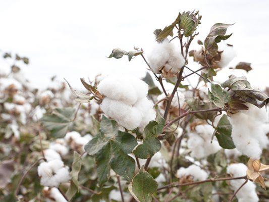 Impulsarán maquinaria para la producción algodonera