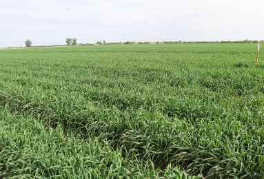 Sembrar innovación de trigo para Valle de Mexicali