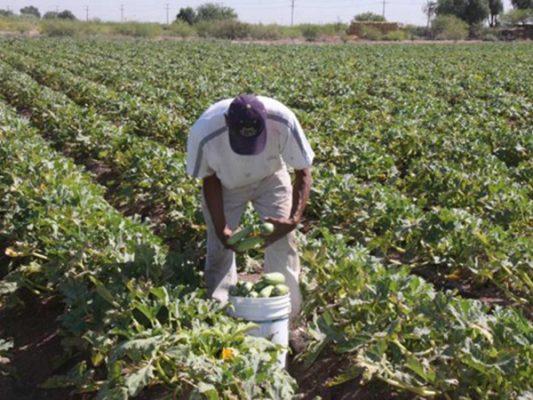 Calor afecta producción de hortalizas en el valle