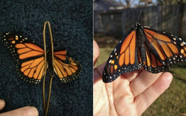 [Fotos] Mariposa vuela de nuevo gracias a una improvisada 'cirugía' de ala