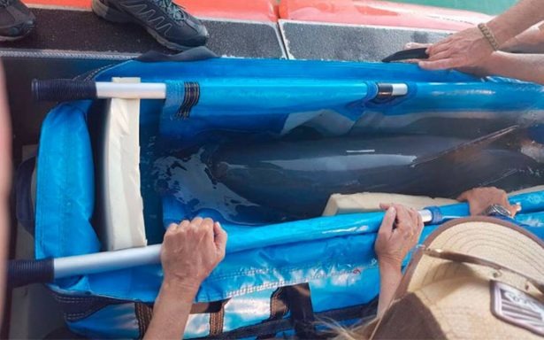 ¡Adiós vaquita marina! muere ejemplar tras ser rescatada por expertos