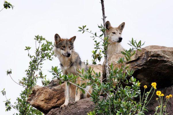 Con éxito se reproduce en Coahuila el Lobo Gris Mexicano