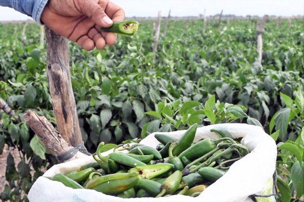 El picudo afecta a 200 Has. de chile jalapeño en La Laguna