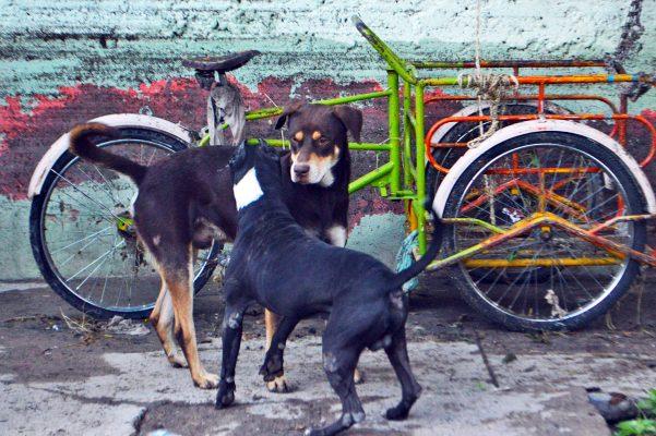 Epidemia de garrapata en Torreón se agudiza