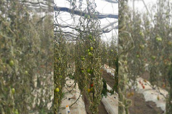 Heladas genera pérdidas de tomate en El Porvenir, de hasta por un 80%