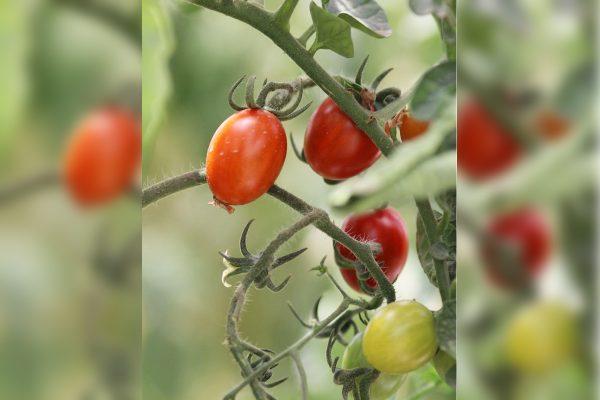 Aumenta producción de tomate para mercado internacional