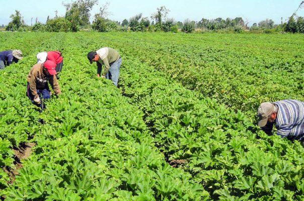 Van 300 hectáreas para hortalizas