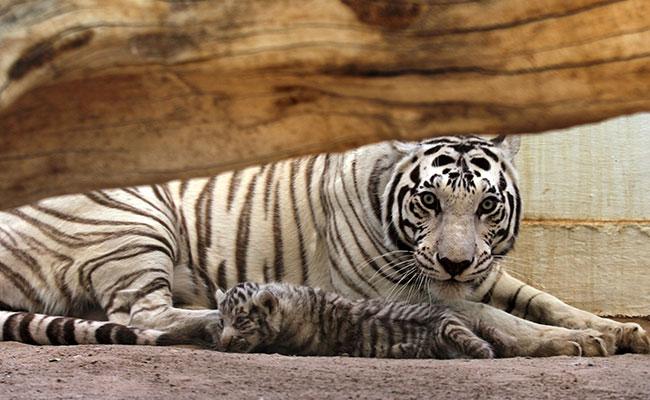 Muere cuidadora del Hamerton Zoo tras ser atacada por un tigre