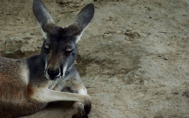 Visitantes de zoo en China matan a canguro a pedradas, querían que saltara