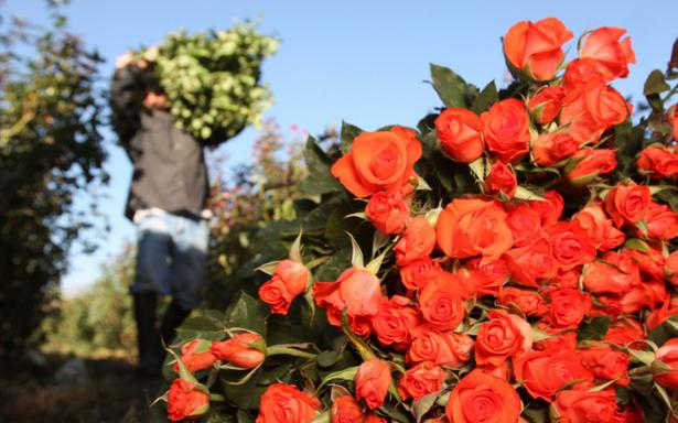 Preparados floristas para Día del Amor