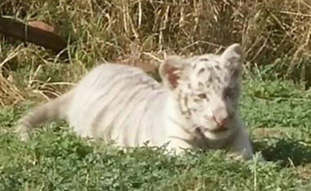 Gignac, así se llamará un cachorro de tigre blanco nacido en Nuevo León