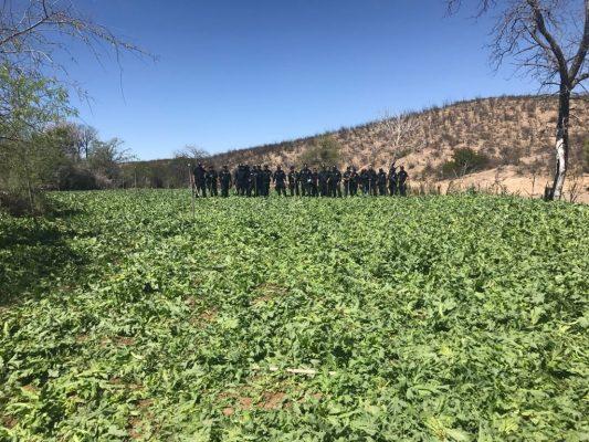 Destruyen cinco plantíos de amapola en Valle del Rosario