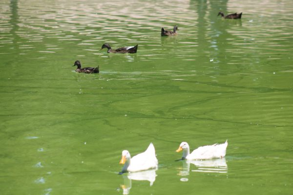 Lago del Parque Central se encuentra contaminado