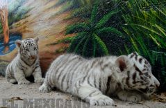 [GALERÍA] | Nacen en Juárez dos tigres, un hipopótamo y una llama