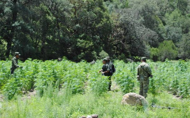 Destruye Ejército 54 plantíos de mariguana