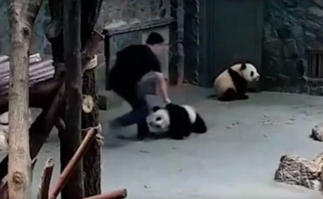 ¡Indignante! Revelan video que muestra a cuidadores golpeando a dos pandas
