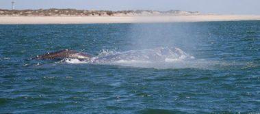 Crea incertidumbre protestas ante temporada de ballenas