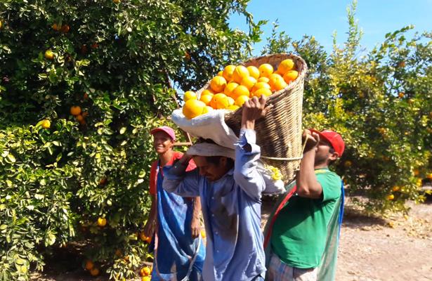 En riesgo más de 2 mil hectáreas de naranjos