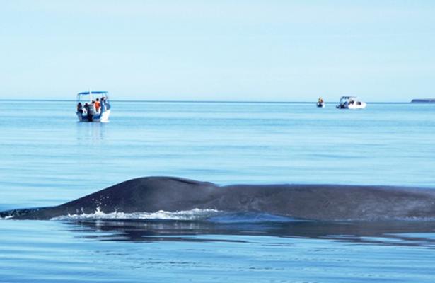 Más de 9 mdp,  la derrama económica del avistamiento de ballenas azules