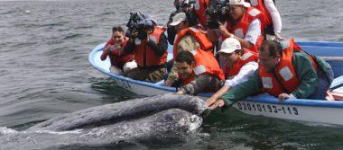 Aún se aprecian ballenas y ballenatos en la Laguna de San Ignacio