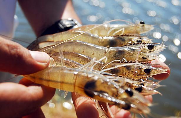 México, noveno productor mundial de camarón con 211,000 toneladas