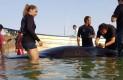 Murió Ballena Piloto en playa El Tesoro, intentaron salvarla