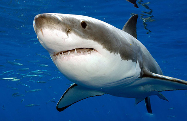 Muerte de tiburones afecta a la pesca