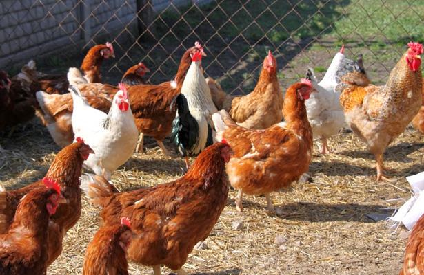 Apoyarán con aves de postura y huertos familiares