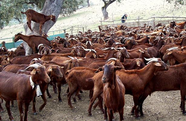 Iniciará operaciones planta pasteurizadora de leche de cabra