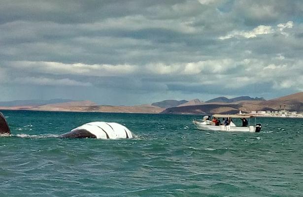 Rescatan a cachalote varado en el Mogote