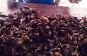 En Comondú, avanza el cultivo de ostión