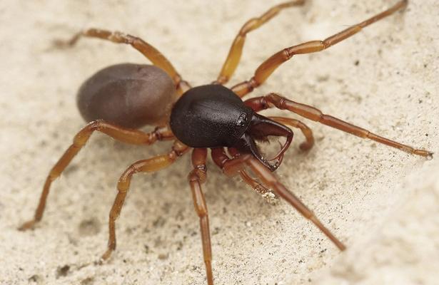 ¿Es mortal la araña violinista de BCS?