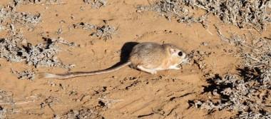 Redescubren 32 años después a esta rata canguro en Baja California
