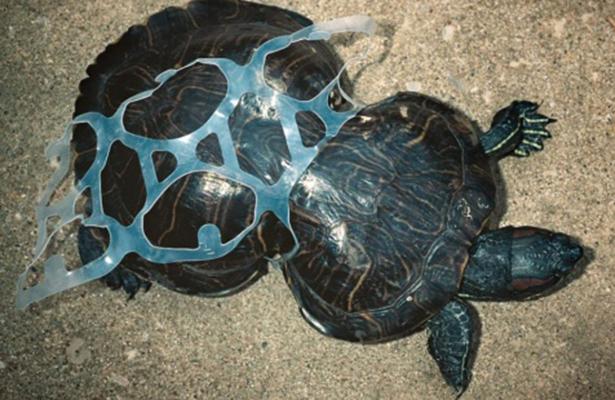 50 por ciento de tortugas australianas tienen plástico en el estómago