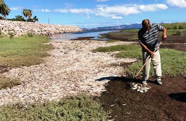 Varan miles de sardinas en el estero Las Garzas