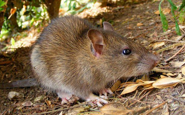 Ratas atacan a adolescente parapléjica mientras dormía; ¡la muerden 225 veces!