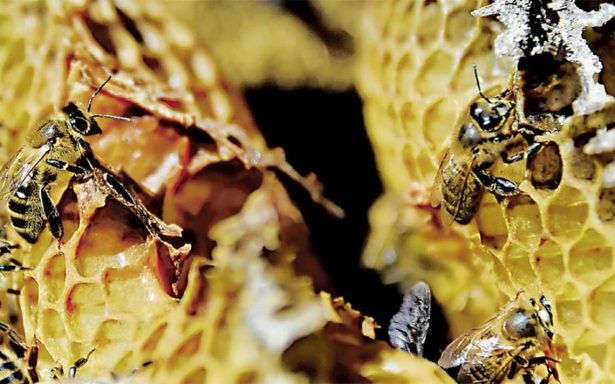 Asociación en el sur de Francia propone salvar a las abejas negras