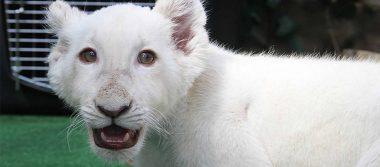 """Niños """"bautizan"""" al pequeño león blanco de Tlaxcala"""