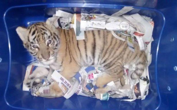 Aseguran en empresa de paquetería un cachorro de tigre en Tlaquepaque