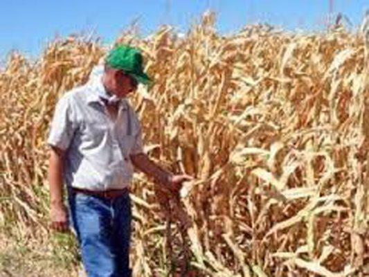 Beneficiaría al maíz incertidumbre con sorgo