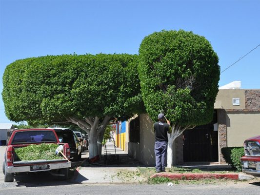 Cuidando árboles de ornato