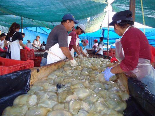 Golfeños capturan 31 mil toneladas de medusa