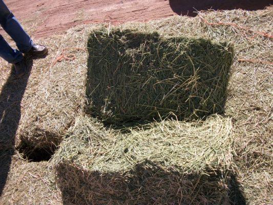 Sin daños en cultivos de Alfalfa por lluvia