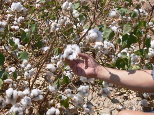 Cotizan algodón a 69 dólares por paca