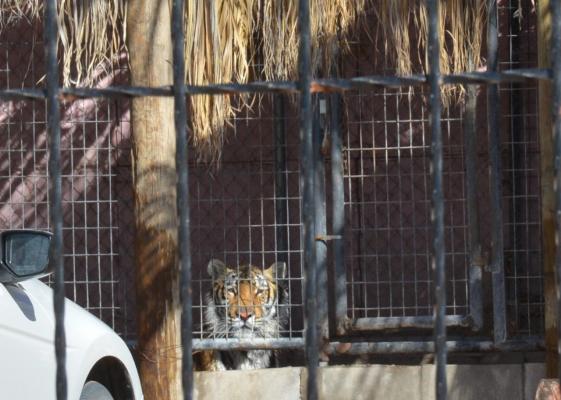 Raúl Julia declara que se llevarán al tigre a Siberia